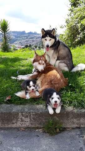 Lindos  cachoros  siberianos  macho y hembra