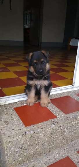 se vende cachorros machos y hembras pastores alemanes.