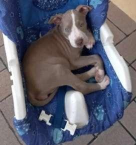 Vendo cachorrita pitbull blue