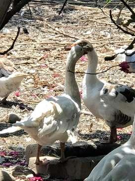 Venta de Patos Ganzos y Gallinas de Guinea