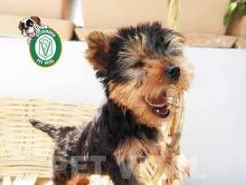 CACHORROS BELLOS YORKSHIRE TERRIER EN PET VITAL !!!