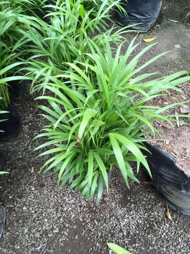 palmera hawaiana 0