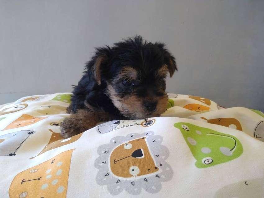 Cachorros Yorkshire terrier 0