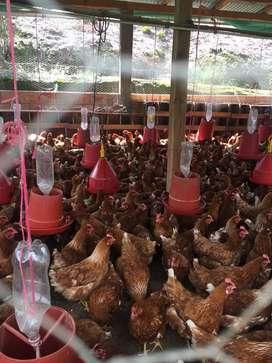 Vendo gallina ponedora de 20 semanas iniciando postura