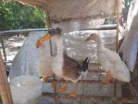 Disponibles patos pequenes y gallos