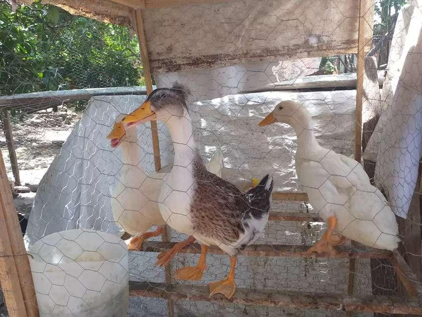 Disponibles patos pequenes y gallos 0