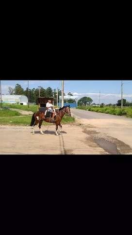 Vendo caballo criollo súper manso