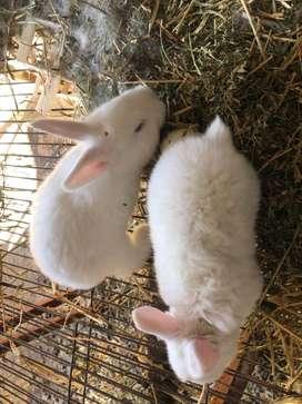 Conejos Gigantes de Flandes gazapos