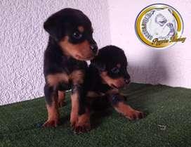 Lindos Rottweiler hembras y machos 45 días
