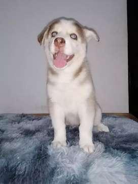 Espectacular loba siberiana de 48 días de nacida