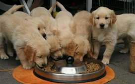 Vendo perritos golden retriever Machos y hembras disponibles