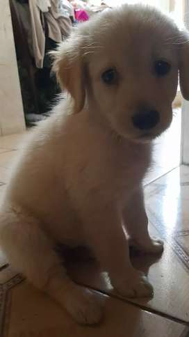 ULTIMOS CACHORROS GOLDEN RETRIEVER