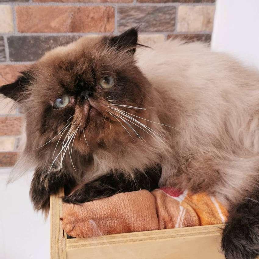 Gato persa himalayo extremo para monta