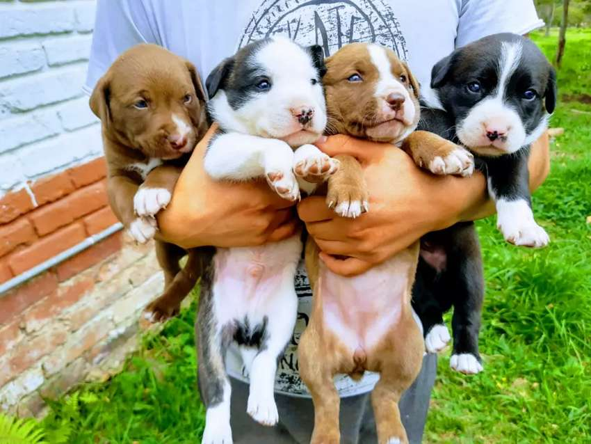 Hermosos cachorros cruce pitbull 0
