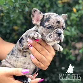 Espectacular bulldog frances blue pied 53 días