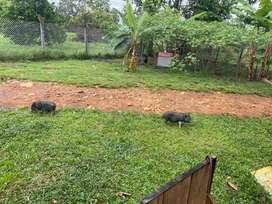 Cerditos mini pigs