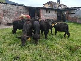 Bufalas y búfalos