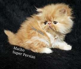 Gatitos Persa , Gatos Persa de Calidad Casa Miau