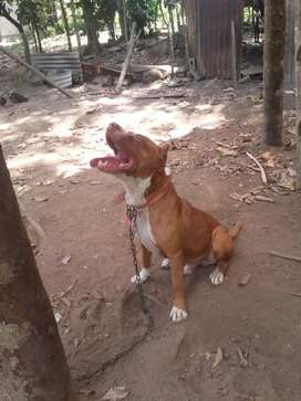 Perro pitbul terrier red nouse
