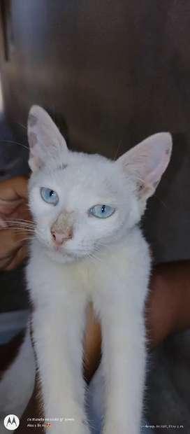 En adopción linda gatita.