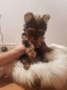 Yorkshire terrier hembra TACITA DE TE BOGOTA