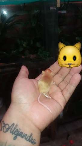 Ratones gold dorados roedores