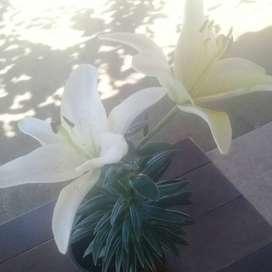 Lilium blanca