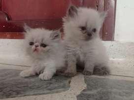 Espectacular gaticos persas en venta