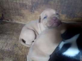 Cachorros Pitbull x bully
