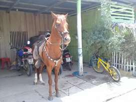 Vendo caballo colombiano entero