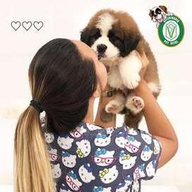 cachorros San Bernardo,labrador,shitzu,doberman,golden,sharpei,bull terrier,samoyedo,pitbull,chihuahua,jack en Pet Vital