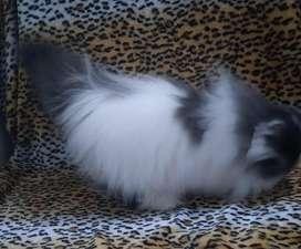 Gatita Persa pedigri TICA