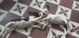 Cachorros bulldog entrega imediata