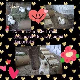 Conejos Californianos puros