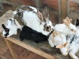 Venta permanente de conejos
