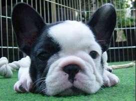 Contamos con la gran variedad de colores de la raza bulldog francés puros