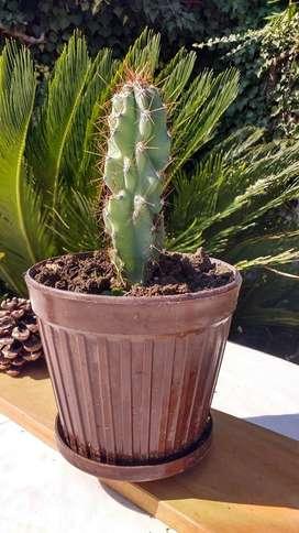 Cactácea planta 3 Años