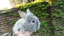 Conejos de raza (variedad de colores)