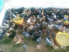 Venta de pollas criollas huevo azul