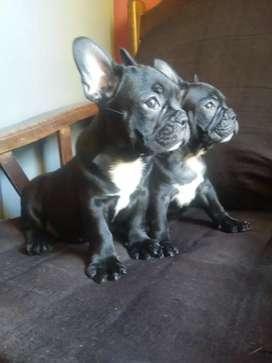 Bulgdog frances