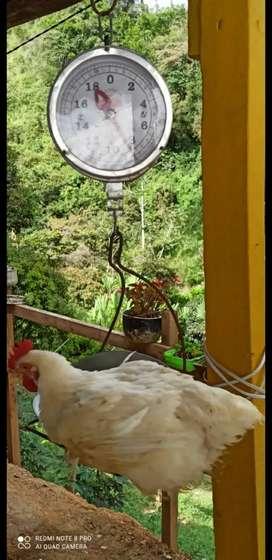 Pollo campesino a 4000 la libra
