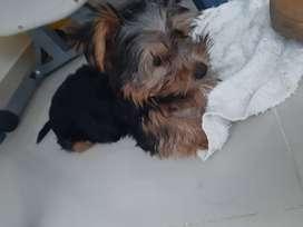 Hermoso yorkshire terrier cachorro, excelente oportunidad