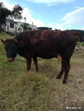 Venta de ganado en PAIPA-Boyacá