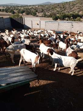 Quality Boer Goats available