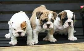cachorritos bulldog ingles de 58 dias entrega inmediata