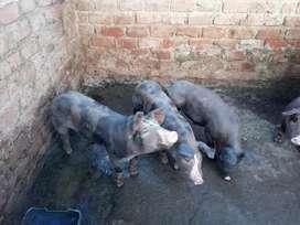 Cerdos lechones en venta