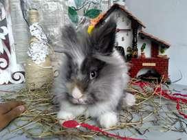 Conejos teddy en Bogota