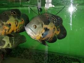 Vendo pareja de peces Oscar  de 27 cm