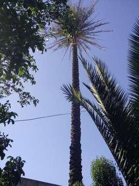 Palmera con 10 metros de altura