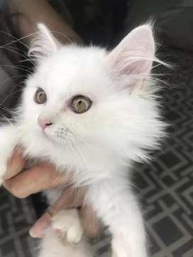 Hermosa gata persa clásica blanca